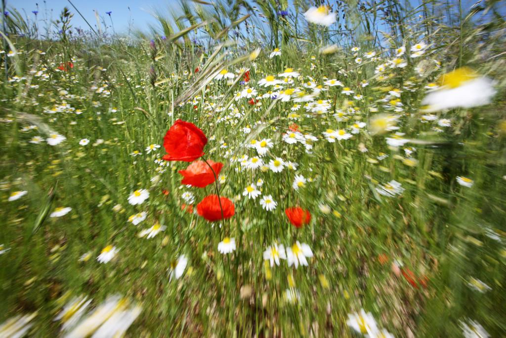 Blumenwiese | Blumenwiese mit rotem Klatschmohn, Papaver rhoeas, Gaensebluemchen, Bellis perennis. Graesern.