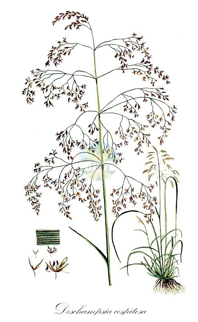 Historical drawing of Deschampsia cespitosa (Tufted Hair-grass) | Historical drawing of Deschampsia cespitosa (Tufted Hair-grass) showing leaf, flower, fruit, seed