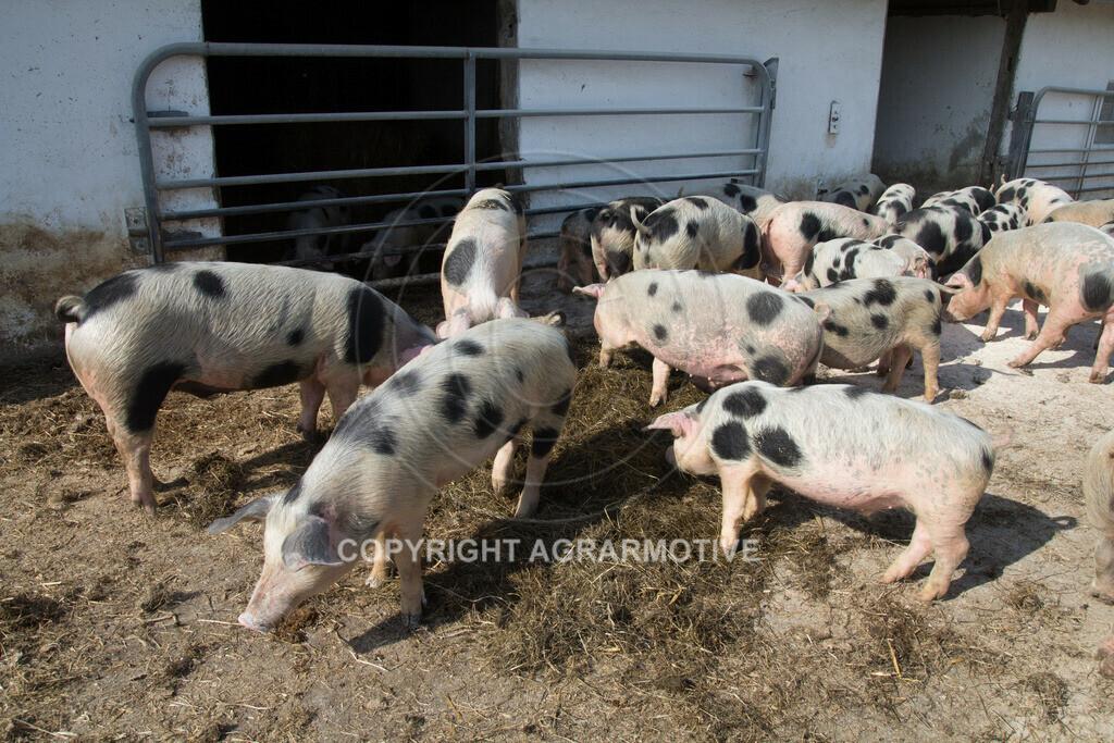 20130425-_MG_6218 | Bioschweine - AGRARMOTIVE Bilder aus der Landwirtschaft