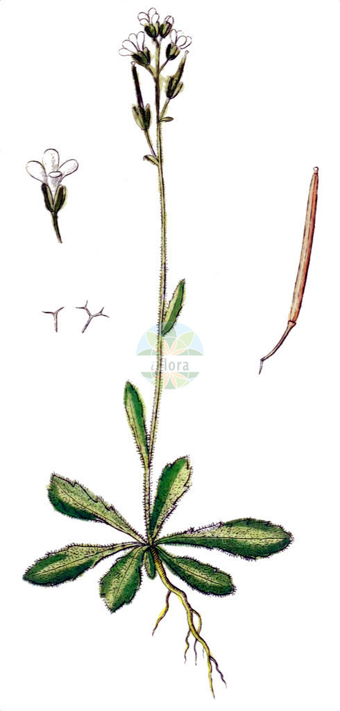 Arabis scabra | Historische Abbildung von Arabis scabra. Das Bild zeigt Blatt, Bluete, Frucht und Same. ---- Historical Drawing of Arabis scabra.The image is showing leaf, flower, fruit and seed.