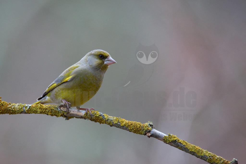 20140210_165639  | Der Grünfink ist leicht zu erkennen: Außer einem schmalen gelben Flügelfeld und schwarzen Flügelspitzen ist er einheitlich grün bis grün-grau. Im Flug sieht man zusätzlich noch zwei gelbe Schwanzflecken. Alles an ihm wirkt eher kräftig und gedrungen.