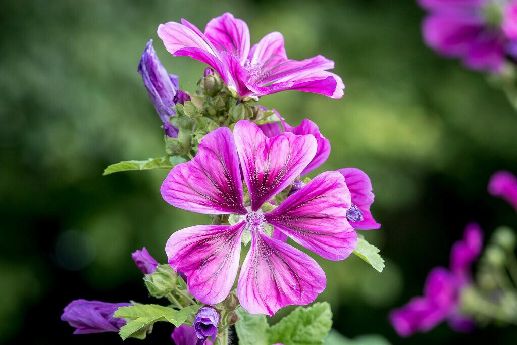 Flower in Magenta   Blühende Blume