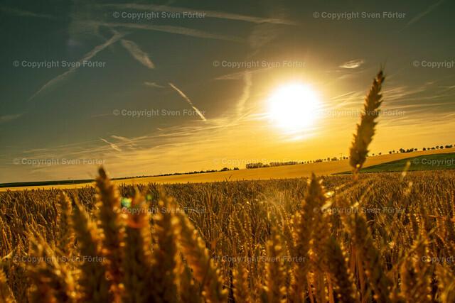 Grain field in the Thuringian basin at sunset | Grain field in the Thuringian basin at sunset