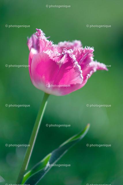Pinke Tulpe aus Sarahs Garten | Blüte einer pinken Tulpe bei Tageslicht vor einem grünen Hintergrund mit Fokus auf der Blüte