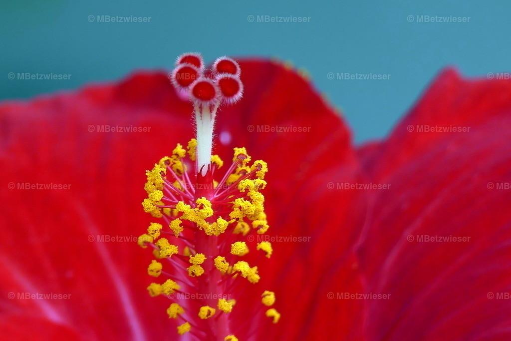 P1010396 | Blütenstempel des roten Hibiskus