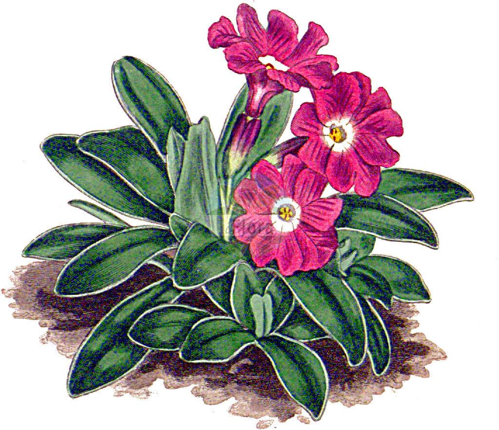 Primula clusiana (Clusius' Schluesselblume - Siberian Primro   Historische Abbildung von Primula clusiana (Clusius' Schluesselblume - Siberian Primrose). Das Bild zeigt Blatt, Bluete, Frucht und Same. ---- Historical Drawing of Primula clusiana (Clusius' Schluesselblume - Siberian Primrose).The image is showing leaf, flower, fruit an