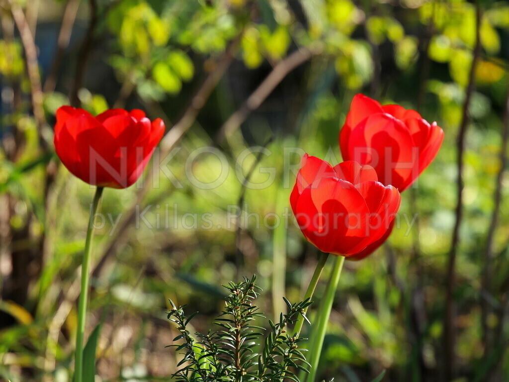 Tulpen | Tulpen im Garten.