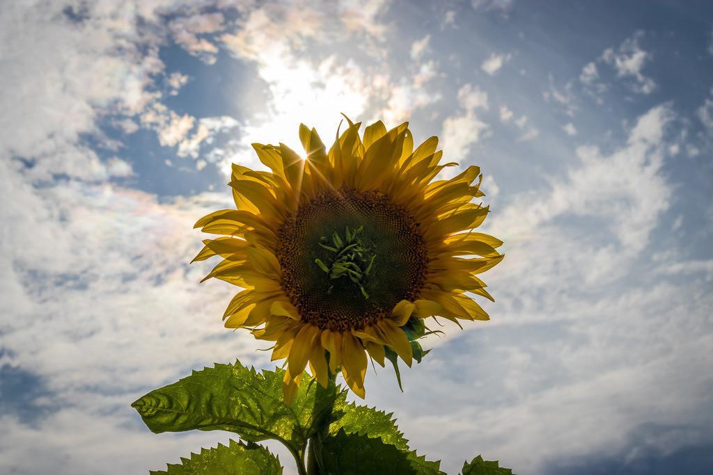 Sonnenblume im Gegenlicht mit Sonnenstern