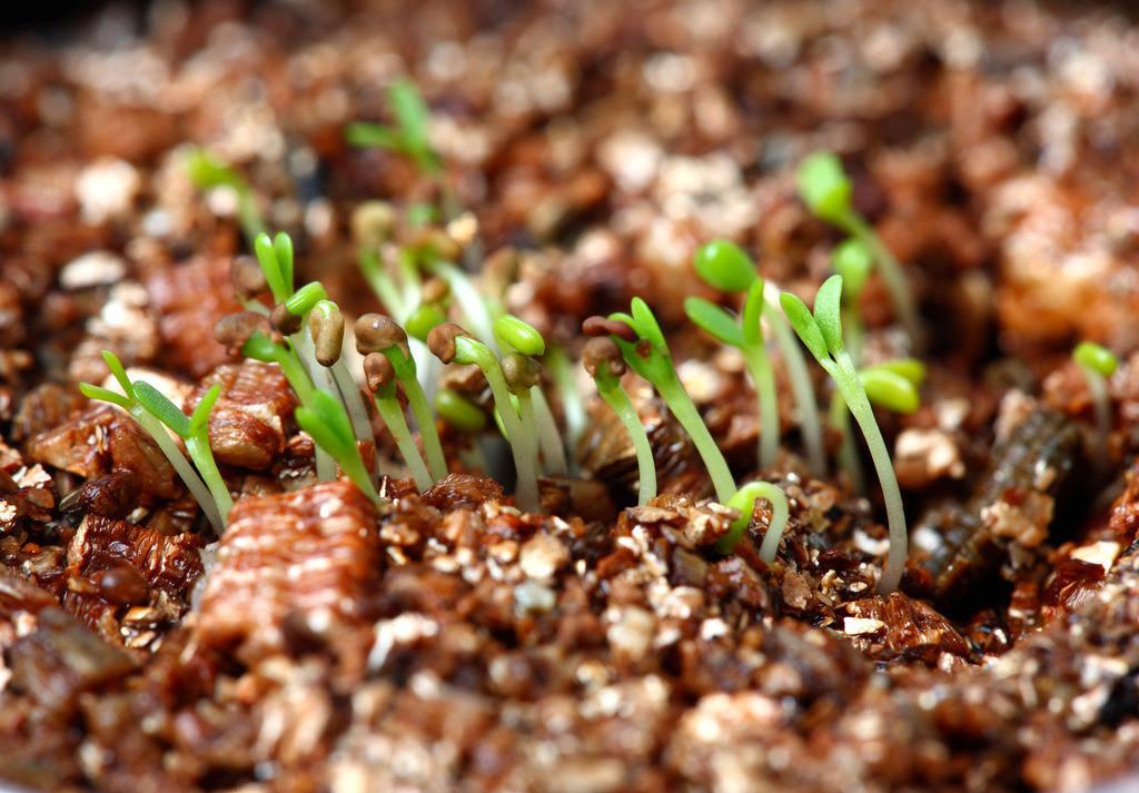 Klee | Keimlinge von Klee Pflanzen auf einem Naehrboden.