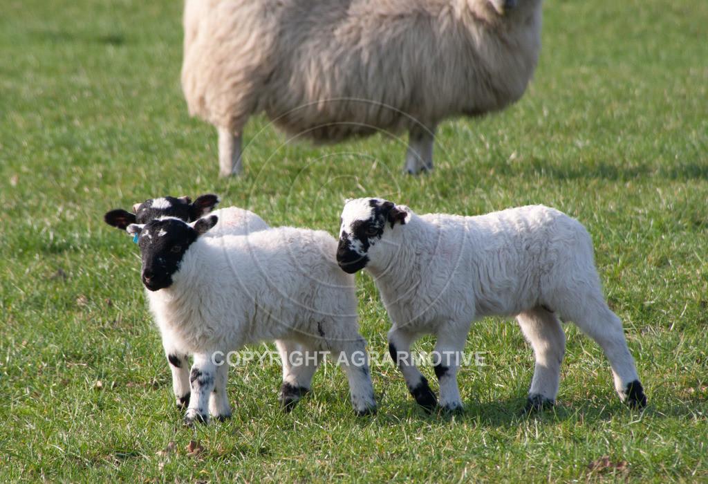 250307-165313 | Schafherde auf der Weide - AGRARBILDER