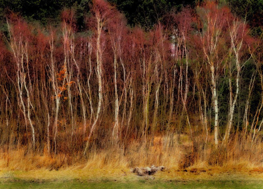 Birkenwald | Birlenwald am Deich, Zingst, Ostsee