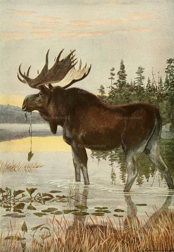 Fuertes_ L.A. (1874-1927) - Wild Animals of N. America 1918 - Moose