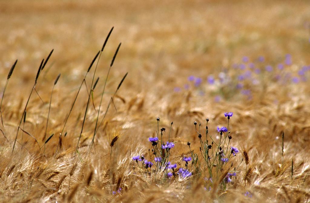JT-050128-022.jpg | Pflanzen, Kornblumen in einem Gerstenfeld.