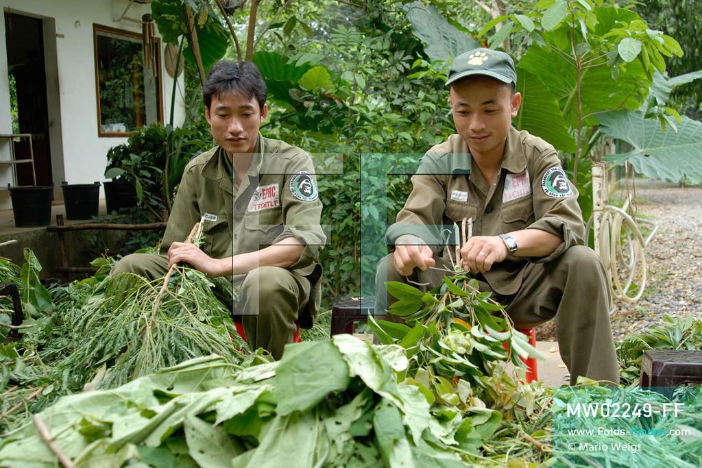 MW02249-FF | Vietnam | Provinz Ninh Binh | Reportage: Endangered Primate Rescue Center | Sei es für einen Rotschenkel-Douc-Langur, Hatinh-, Delacour- oder Cat-Ba-Langur, für jeden Affen wird ein individuelles Blätterpaket geschnürt. Der Deutsche Tilo Nadler leitet das Rettungszentrum für gefährdete Primaten im Cuc-Phuong-Nationalpark.    ** Feindaten bitte anfragen bei Mario Weigt Photography, info@asia-stories.com **