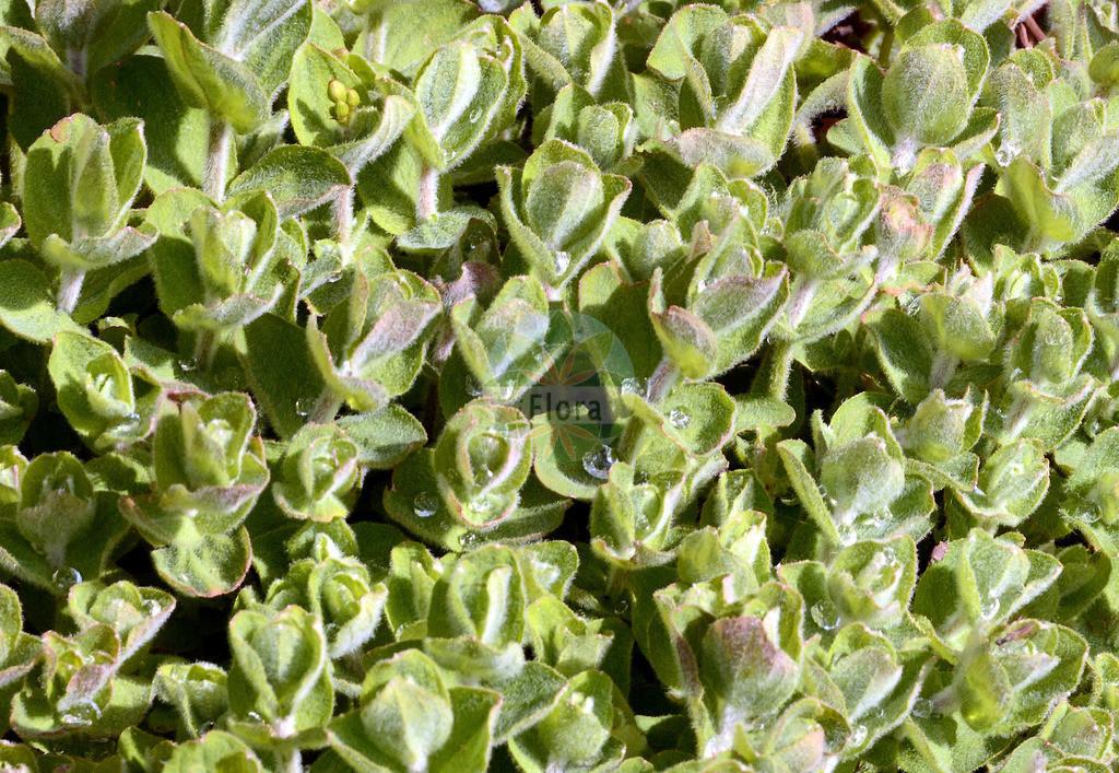 Hypericum elodes (Sumpf-Johanniskraut - Marsh St John's-wo | Foto von Hypericum elodes (Sumpf-Johanniskraut - Marsh St John's-wort). Das Foto wurde in Dresden, Sachsen, Deutschland aufgenommen. ---- Photo of Hypericum elodes (Sumpf-Johanniskraut - Marsh St John's-wort).The picture was taken in Dresden, Sachsen, G