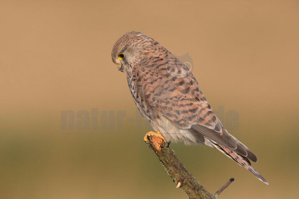 20180902-663A9976 Kopie   Der Turmfalke (Falco tinnunculus) ist der häufigste Falke in Mitteleuropa. Vielen ist der Turmfalke vertraut, da er sich auch Städte als Lebensraum erobert hat und oft beim Rüttelflug zu beobachten ist.