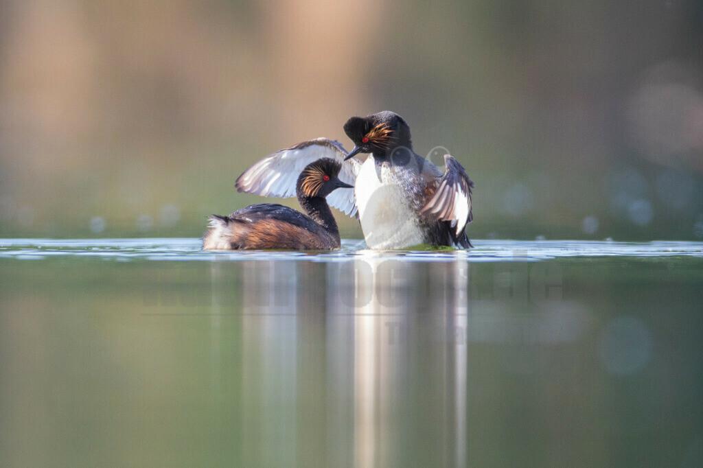 20190610090703 | Der Schwarzhalstaucher (Podiceps nigricollis) ist eine Vogelart aus der Familie der Lappentaucher (Podicipedidae), der in Eurasien, Nordamerika und Afrika verbreitet ist. Als Brutvogel und Teilzieher kommt er im gesamten mitteleuropäischen Gebiet vor.