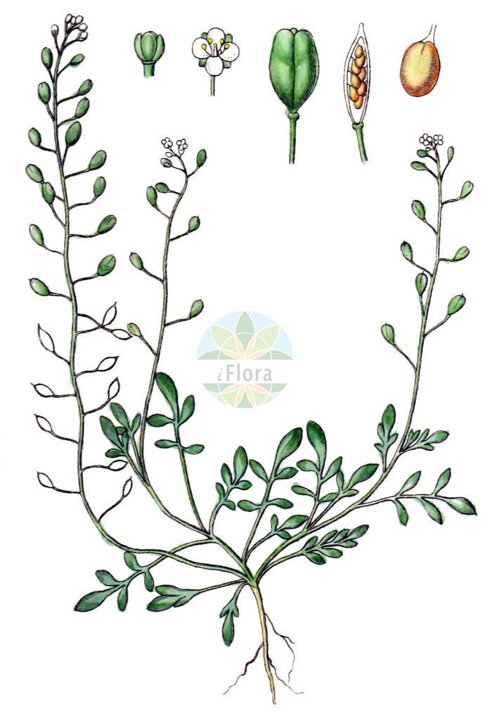 Hornungia procumbens (Niederliegende Salzkresse - Hymenolobus) | Historische Abbildung von Hornungia procumbens (Niederliegende Salzkresse - Hymenolobus). Das Bild zeigt Blatt, Bluete, Frucht und Same. ---- Historical Drawing of Hornungia procumbens (Niederliegende Salzkresse - Hymenolobus).The image is showing leaf, flower, fruit and seed.
