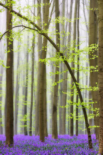 Junge Buche im Märchenwald | Noch so jung und schon so gebeugt. An dieser Buche sprießen Mitte April die ersten frischen Blätter. Sie steht in einem Teppich aus violetten Hasenglöckchen, die nur für ca. zwei Wochen blühen. Danach sind die Baumkronen so dicht, dass zu wenig Licht auf den Boden fällt, um die Blumen weiter gedeihen zu lassen. Der morgendliche Nebel schafft eine mystische Atmosphäre.