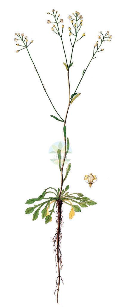 Kernera saxatilis (Felsen-Kugelschoetchen - Kernera)   Historische Abbildung von Kernera saxatilis (Felsen-Kugelschoetchen - Kernera). Das Bild zeigt Blatt, Bluete, Frucht und Same. ---- Historical Drawing of Kernera saxatilis (Felsen-Kugelschoetchen - Kernera).The image is showing leaf, flower, fruit and seed.