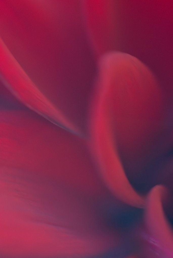 Anerkennung 03 | Dahlie