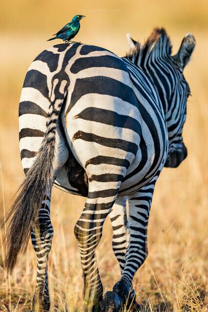 Symbiosis_Zebra_Star_D4N_0457