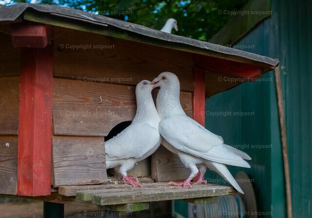 Zwei weiße Tauben begrüßen sich mit einem Kuss