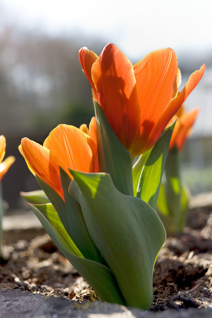 Insel Mainau Bodensee Tulpenblüten   DEU, Deutschland, Filderstadt, 29.03.2011, Insel Mainau Bodensee Tulpenblüten © 2011 Christoph Hermann, Bild-Kunst Urheber 707707