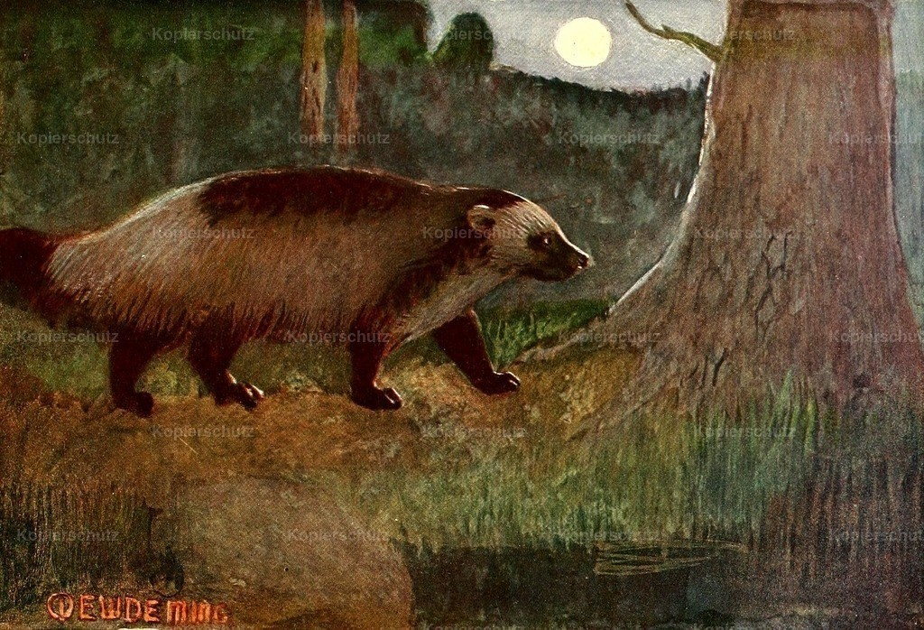 Deming_ E.W. (1860-1942) - American Animal Life 1916 - Wolverine