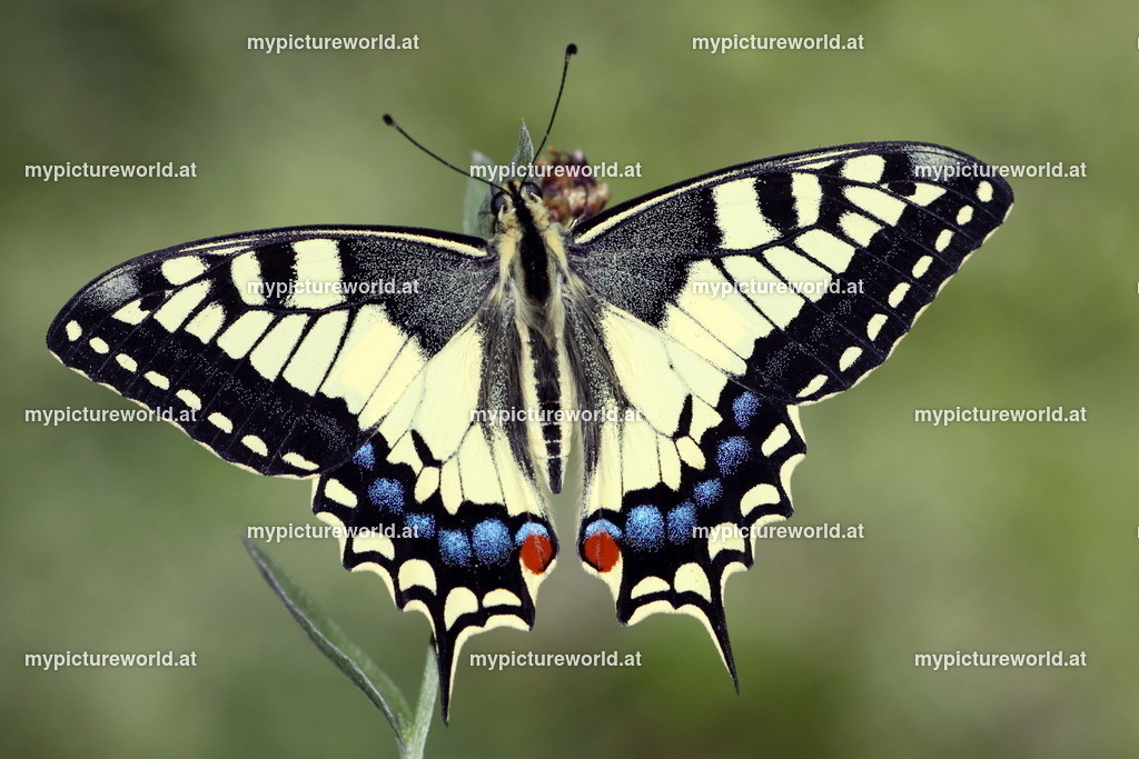 Papilio machaon-026