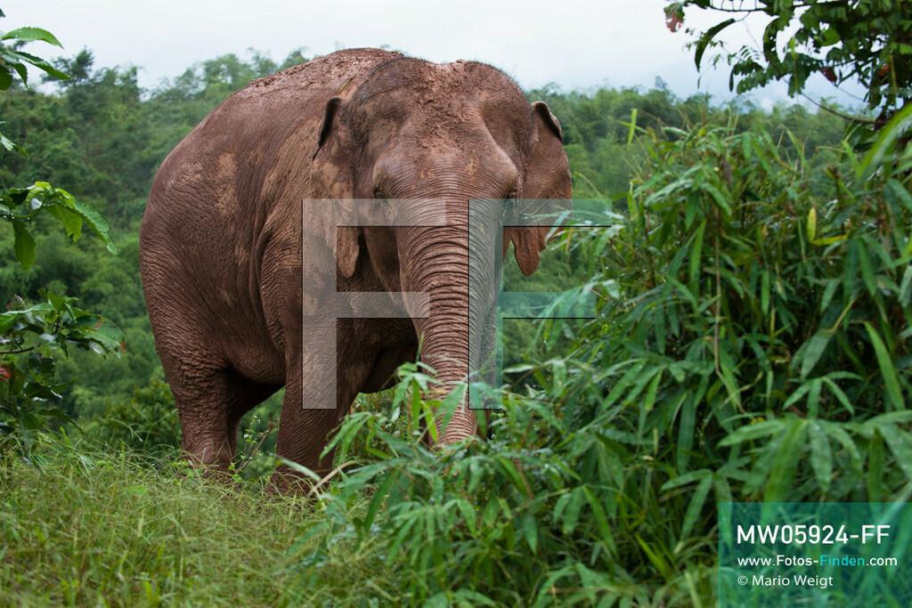 MW05924-FF | Thailand | Goldenes Dreieck | Reportage: Mahut und Elefant - Ein Bündnis fürs Leben | Asiatischer Elefant beim Fressen im Dschungel   ** Feindaten bitte anfragen bei Mario Weigt Photography, info@asia-stories.com **