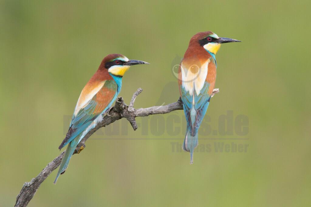 20140520_155328 | Die Bienenfresser tragen ihren Namen, weil sie am liebsten Bienen, Wespen und Hummeln fressen. Bienenfresser auf einem Baum mit Beute im Schnabel (Bild: SWR)Bienenfresser sind die farbenprächtigsten Vögel, die es in Europa gibt. Das liegt daran, dass sie zu einer Vogel-Gruppe gehören, die in den Tropen zu Hause ist: sie gehören zu den Rackenvögeln und sind mit unseren Eisvögeln verwandt.