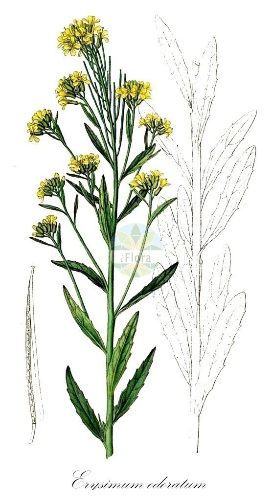 Historical drawing of Erysimum odoratum (European Wallflower) | Historical drawing of Erysimum odoratum (European Wallflower) showing leaf, flower, fruit, seed