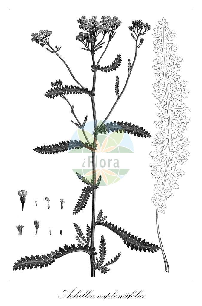 Achillea aspleniifolia (Farnblaettrige Schafgarbe) | Historische Abbildung von Achillea aspleniifolia (Farnblaettrige Schafgarbe). Das Bild zeigt Blatt, Bluete, Frucht und Same. ---- Historical Drawing of Achillea aspleniifolia (Farnblaettrige Schafgarbe).The image is showing leaf, flower, fruit and seed.