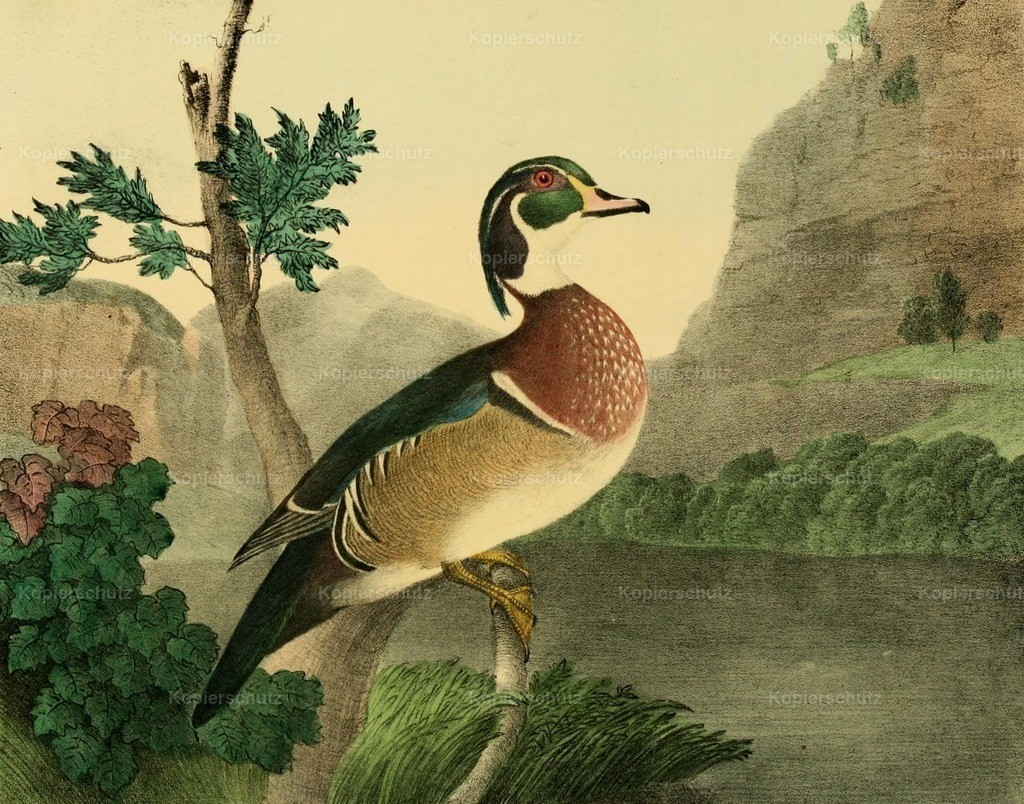 Doughty_ T. (1793-1856) - Cabinet of Natural History 1830 - Summer Duck