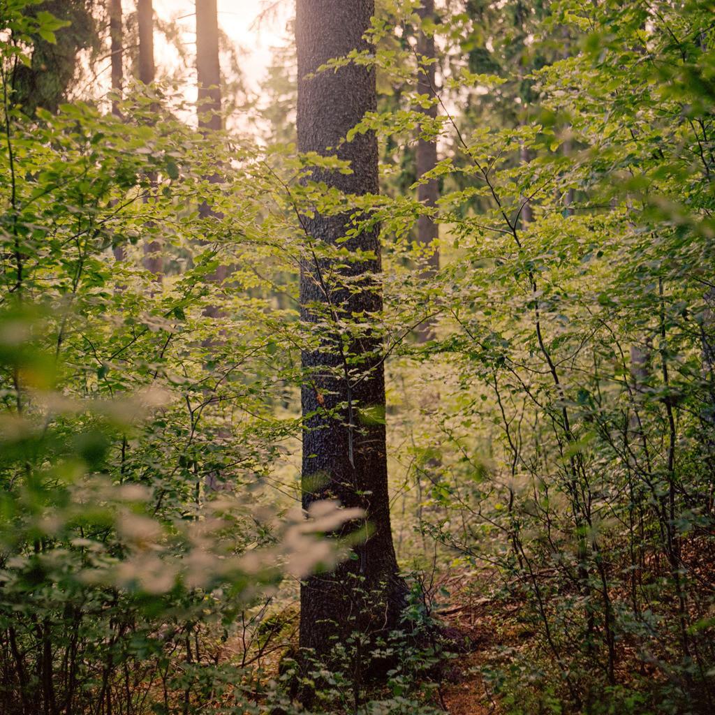 Fichte Thüringer Wald   Fichte im Thüringer Wald