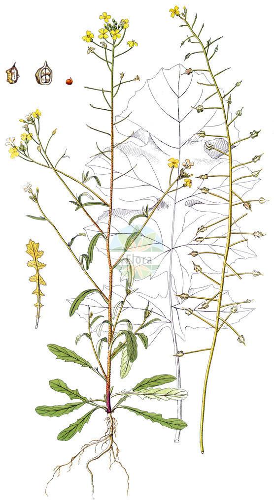 Bunias erucago | Historische Abbildung von Bunias erucago. Das Bild zeigt Blatt, Bluete, Frucht und Same. ---- Historical Drawing of Bunias erucago.The image is showing leaf, flower, fruit and seed.