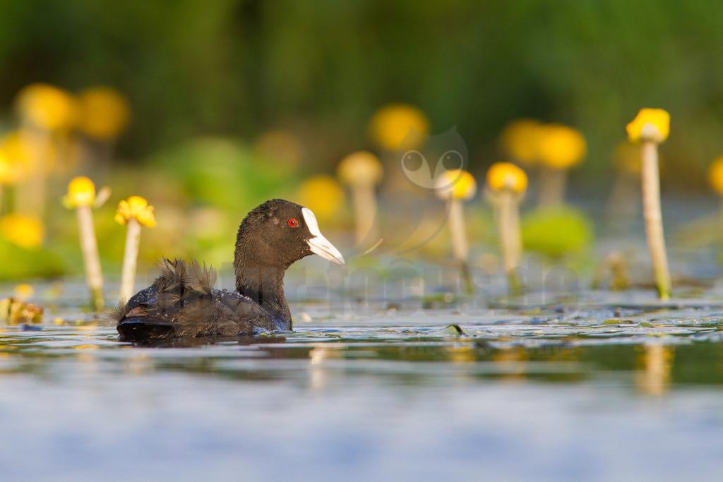 20130615202949 | Das Blässhuhn ist eine mittelgroße Vogelart der Gattung der Blässhühner aus der Familie der Rallen, die als einer der häufigsten Wasservögel bevorzugt auf nährstoffreichen Gewässern anzutreffen ist. Die Art ist über große Teile Eurasiens verbreitet und kommt darüber hinaus in Australasien vor.