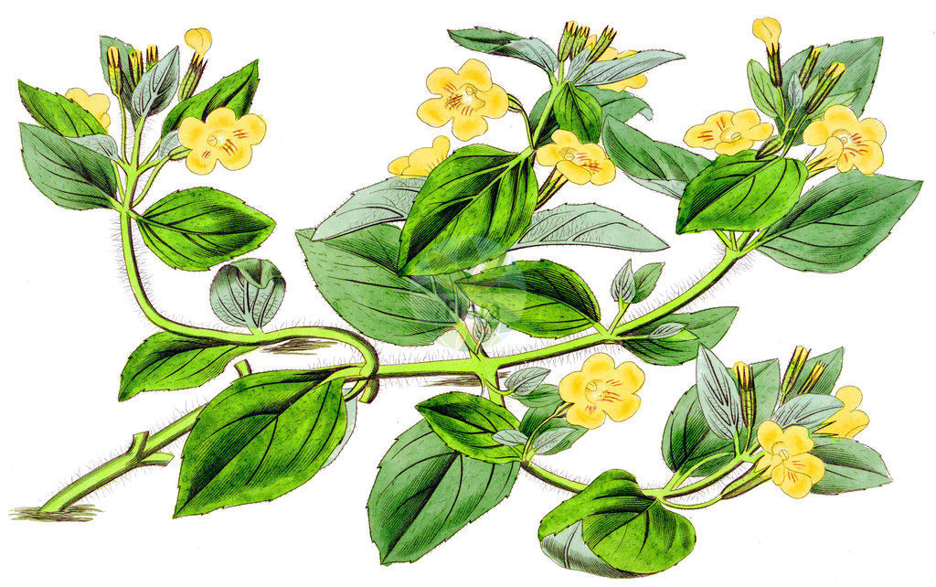 Mimulus moschatus (Moschus-Gauklerblume - Musk) | Historische Abbildung von Mimulus moschatus (Moschus-Gauklerblume - Musk). Das Bild zeigt Blatt, Bluete, Frucht und Same. ---- Historical Drawing of Mimulus moschatus (Moschus-Gauklerblume - Musk).The image is showing leaf, flower, fruit and seed.
