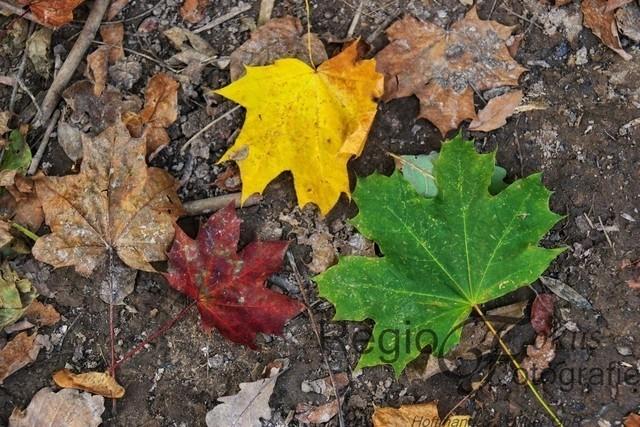 Herbstliche Ampel | Diese bunten Herbstblätter liegen auf einem Waldweg an der Marienburg.
