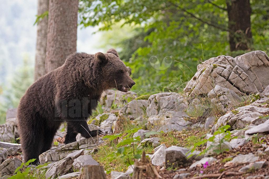 663A1087 | Der Braunbär gehört zu den Säugetieren aus der Familie der Bären. In Eurasien und Nordamerika kommt er in mehreren Unterarten vor, darunter Europäischer Braunbär, Grizzlybär und Kodiakbär. Als eines der größten an Land lebenden Raubtiere der Erde spielt er in zahlreichen Mythen und Sagen eine wichtige Rolle.