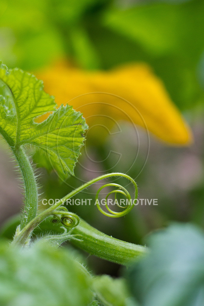 20160814-_MG_8182 | Kürbispflanzen