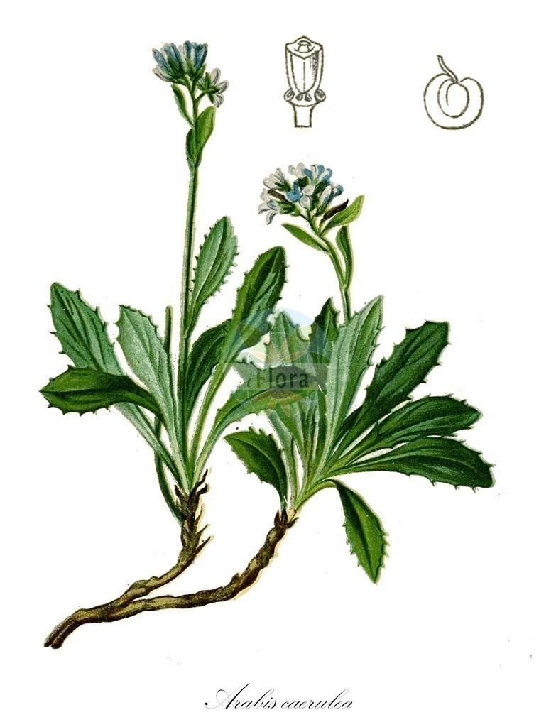 Historical drawing of Arabis caerulea (Blue Arabis) | Historical drawing of Arabis caerulea (Blue Arabis) showing leaf, flower, fruit, seed