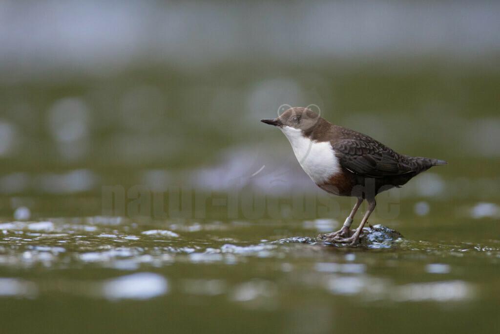 20180909-663A0355 Kopie | Die Wasseramsel oder Eurasische Wasseramsel ist die einzige auch in Mitteleuropa vorkommende Vertreterin der Familie der Wasseramseln. Der etwa starengroße, rundlich wirkende Singvogel ist eng an das Leben entlang schnellfließender, klarer Gewässer gebunden.