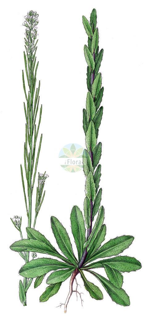 Arabis hirsuta (Behaarte Gaensekresse - Hairy Rock-cress) | Historische Abbildung von Arabis hirsuta (Behaarte Gaensekresse - Hairy Rock-cress). Das Bild zeigt Blatt, Bluete, Frucht und Same. ---- Historical Drawing of Arabis hirsuta (Behaarte Gaensekresse - Hairy Rock-cress).The image is showing leaf, flower, fruit and seed.