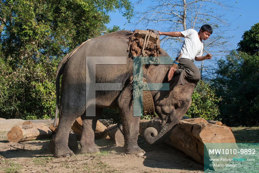 MW1010-9892   Myanmar   Sagaing-Region   Reportage: Schiffsreise von Bhamo nach Mandalay auf dem Ayeyarwady   Teakholzlager am Ayeyarwady hinter Katha. Ein Mahut (Tierpfleger) sortiert mit seinem Arbeitselefanten Baumstämme.  ** Feindaten bitte anfragen bei Mario Weigt Photography, info@asia-stories.com **