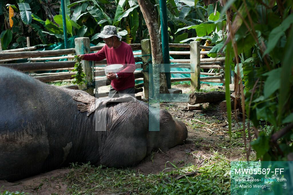 MW05587-FF | Thailand | Lampang | Reportage: Krankenhaus für Elefanten | Abschiedszeremonie für die verstorbene Elefantenkuh Tan Thong. Sie ist 78 Jahre geworden.  ** Feindaten bitte anfragen bei Mario Weigt Photography, info@asia-stories.com **