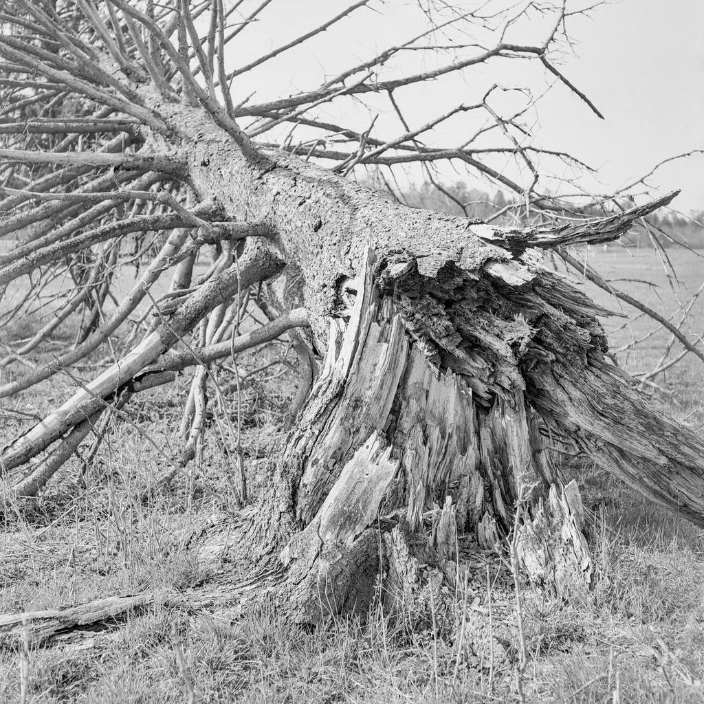 Fallen Tree | Mittelformat-Analogfotografie mit meiner Mamiya C330.