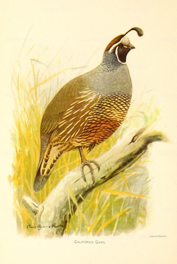 Fuertes_ L.A. (1874-1927) - Birds of California 1893 - California Quail