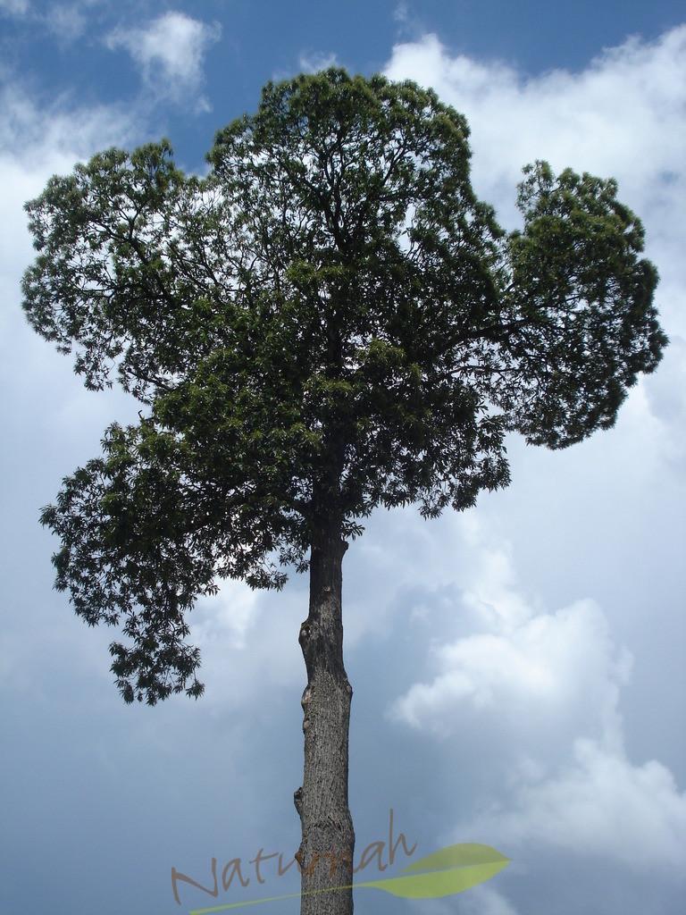 Klosterbaum im Wolkenkreis
